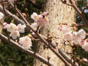 『北海道神宮の鳥居近くの桜です❀』