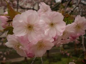 『一部満開の松前・光善寺・血脈桜』