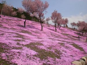 『滝上公園のの芝桜❀』